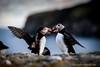 Puffins, Fair Isle, Shetland
