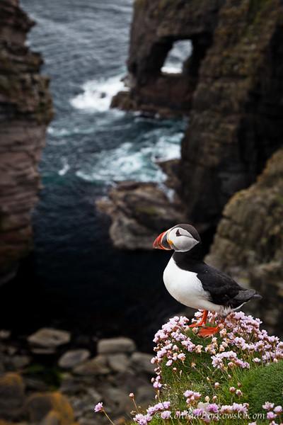 Puffi, Isle of Noss, Shetland