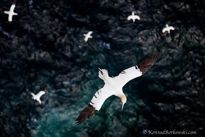 Gannets, Isle of Noss, Shetland