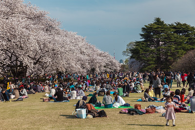 Enjoying Sakura in Shinjuku Gyoen