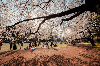 Sakura Viewing in Shinjuku Gyoen