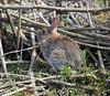 Rabbit - James Watt Dock - 19 May 2012
