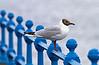 Seagull - Greenock Esplanade - 7 July 2012