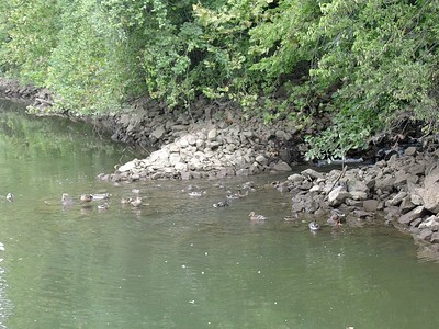 Cumberland River Ducks