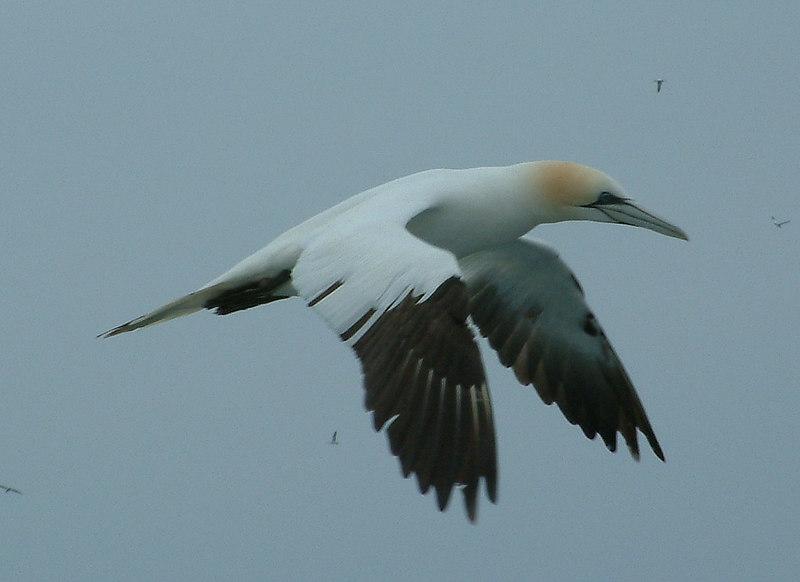 An Ailsa Craig gannet