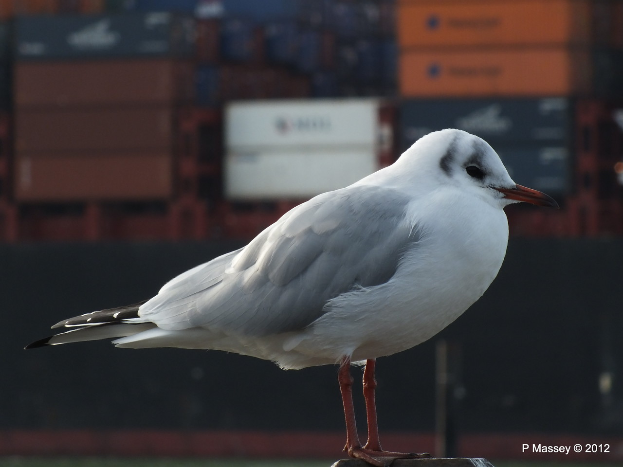 Seagull KYOTO EXPRESS 08-11-2012 10-59-12