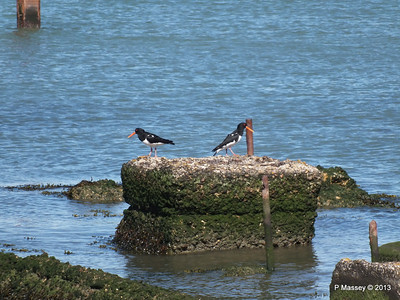 Oyster Catchers Marchwood PDM 27-05-2013 16-34-46