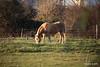 Horse Fox Marchwood PDM 29-11-2016 17-58-32