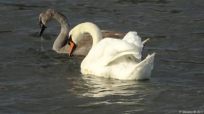 Swan Cygnet Marchwood 10-11-2017 14-56-17