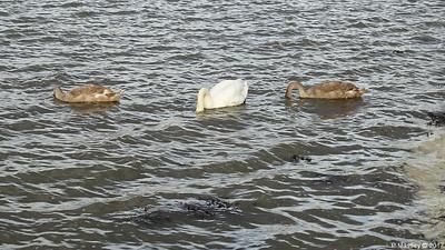 Swan Cygnets Marchwood 10-11-2017 15-03-47