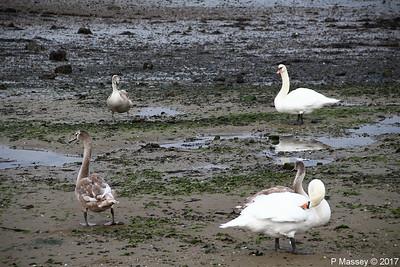 Swans Cygnets Marchwood 15-11-2017 15-32-25