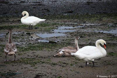 Swans Cygnets Marchwood 15-11-2017 15-29-37
