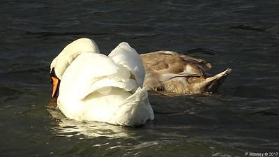 Swan Cygnet Marchwood 10-11-2017 14-56-05