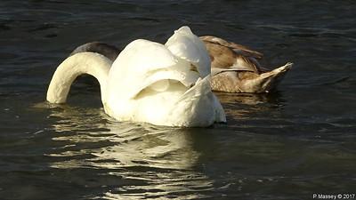 Swan Cygnet Marchwood 10-11-2017 14-56-09