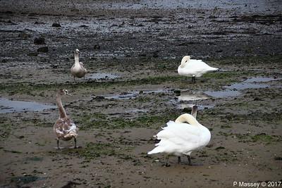 Swans Cygnets Marchwood 15-11-2017 15-32-31