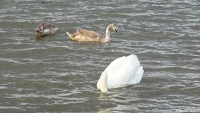 Swan Cygnets Marchwood 10-11-2017 14-53-21
