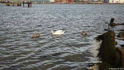 Swan Cygnets Marchwood 10-11-2017 15-03-36