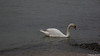 Swan Marchwood 17-04-2018 14-32-02