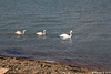 Swan Family Marchwood 23-02-2018 14-45-05