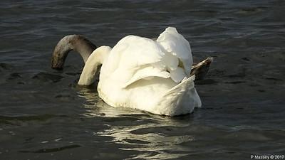 Swan Cygnet Marchwood 10-11-2017 14-56-23