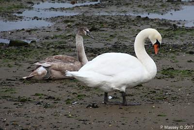 Swans Cygnets Marchwood 15-11-2017 15-29-39