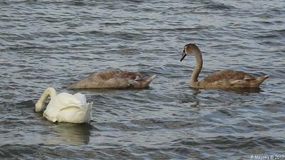 Swan Cygnets Marchwood 10-11-2017 14-50-35