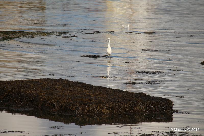 Little Egret Seagulls Marchwood PDM 08-10-2015 12-17-05