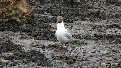 Black-Headed Gull Marchwood Southampton PDM 18-06-2016 17-07-47