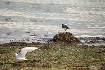 Oystercatcher Seagull Marchwood PDM 08-10-2015 12-14-37