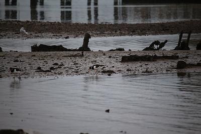 Oystercatchers Marchwood PDM 06-01-2016 11-59-40