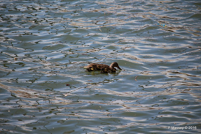 Mother Duck with 6 Ducklings Southampton 101 PDM 12-04-2016 15-20-41
