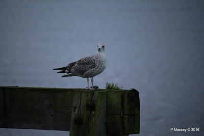 Seagull Mayflower Park Southampton PDM 10-01-2016 08-45-05