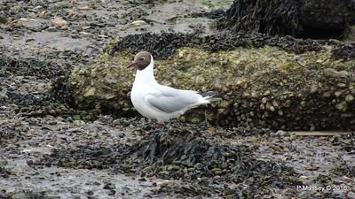 Black-Headed Gull Marchwood Southampton PDM 18-06-2016 17-07-20