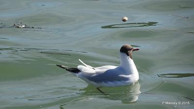 Seagull Mayflower Park Southampton PDM 12-04-2016 15-33-24