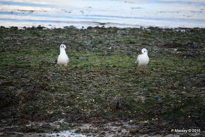 Seagulls Marchwood PDM 08-10-2015 12-15-13