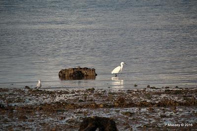 Little Egret Seagull Marchwood PDM 02-10-2016 18-12-09