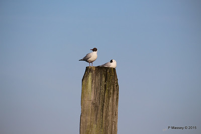 Marchwood Seagulls PDM 14-04-2015 17-53-50