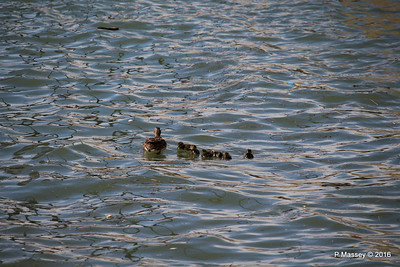 Mother Duck with 6 Ducklings Southampton 101 PDM 12-04-2016 15-20-48