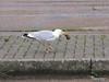 Seagull Eating Southampton PDM 20-07-2011 21-10-31
