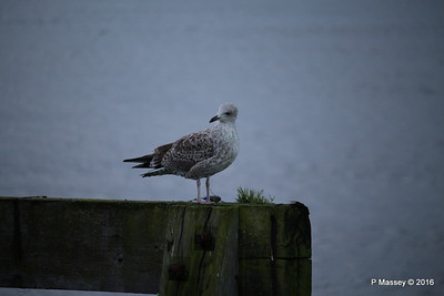 Seagull Mayflower Park Southampton PDM 10-01-2016 08-45-07
