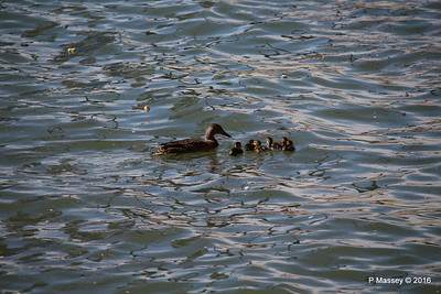 Mother Duck with 6 Ducklings Southampton 101 PDM 12-04-2016 15-20-37