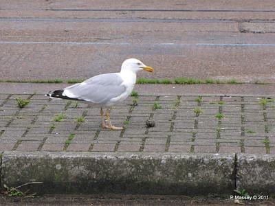 Seagull Eating Southampton PDM 20-07-2011 21-10-33