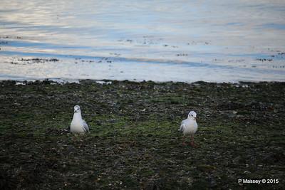 Seagulls Marchwood PDM 08-10-2015 12-15-12