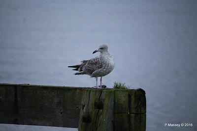 Seagull Mayflower Park Southampton PDM 10-01-2016 08-44-59