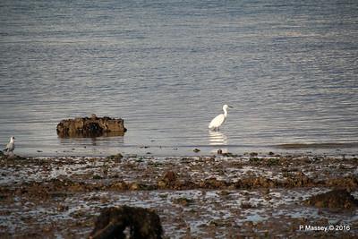 Little Egret Seagull Marchwood PDM 02-10-2016 18-12-13
