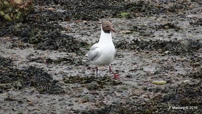 Black-Headed Gull Marchwood Southampton PDM 18-06-2016 17-07-48