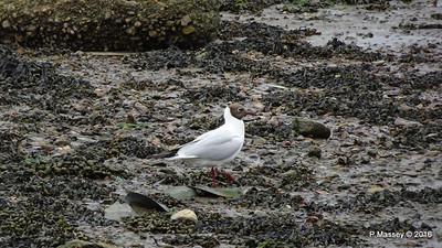 Black-Headed Gull Marchwood Southampton PDM 18-06-2016 17-08-14