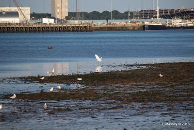 Egret & Seagulls Southampton PDM 22-07-2016 19-59-25