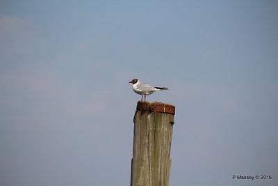 Marchwood Seagull 13-05-2016 17-14-030