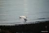 Seagull Swan Marchwood PDM 08-10-2015 12-14-50